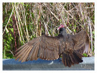 Op een parking langs de I75 (= Alligator Alley) - een turkey vulture